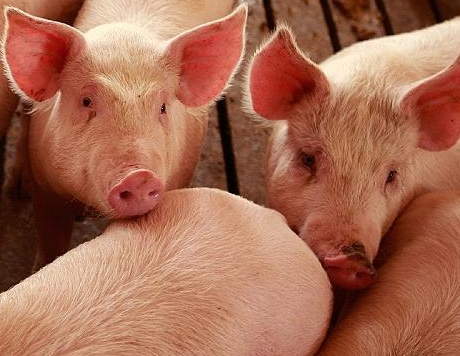 record hogs pigs pork exports