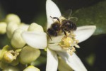 bee pollination of an orange tree flower