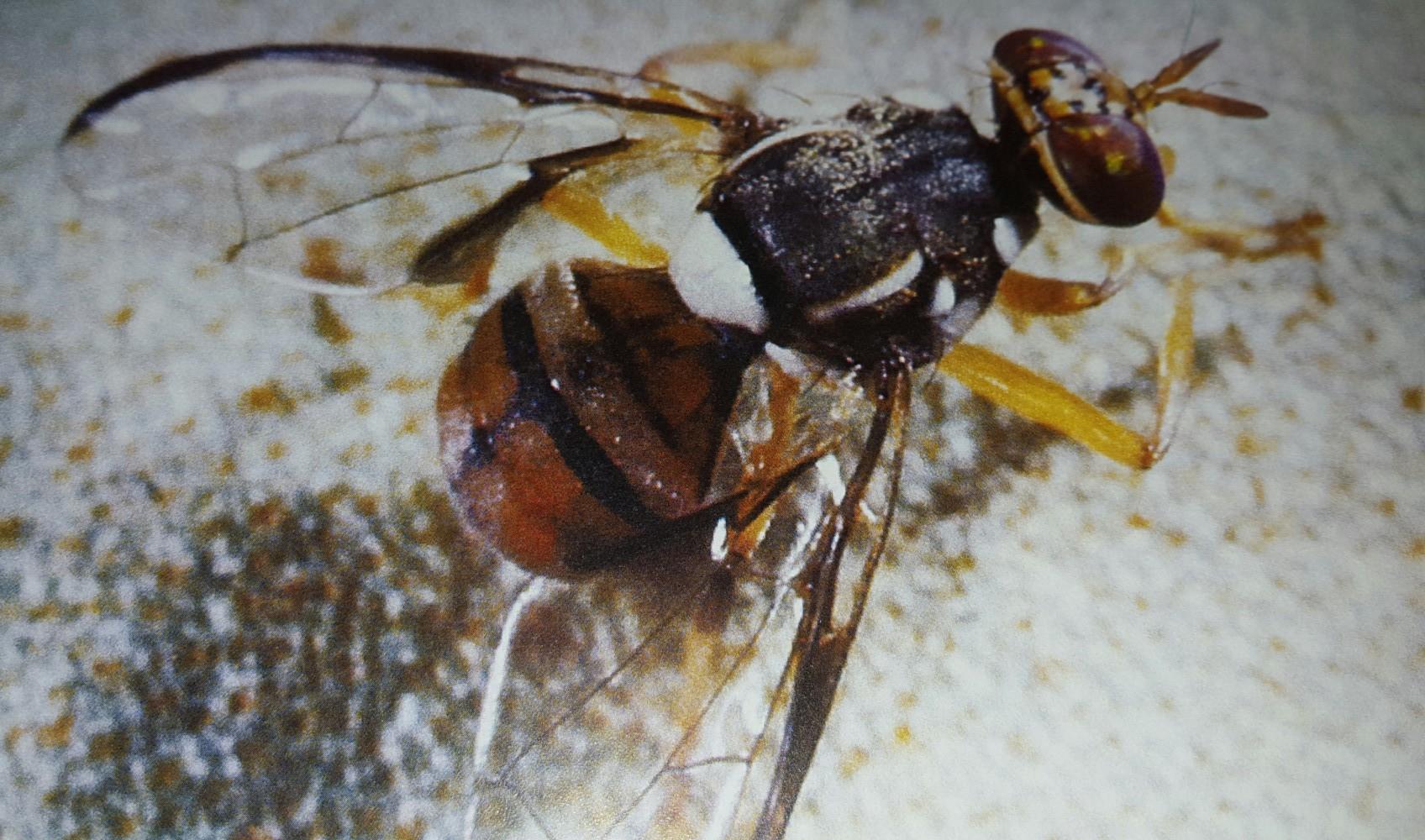 Commissioner Putnam on Oriental Fruit Fly Infestation