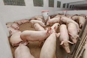 swine disease