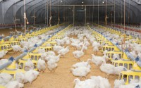 Chicken-Poultry farm