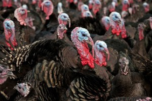 free range turkey facts