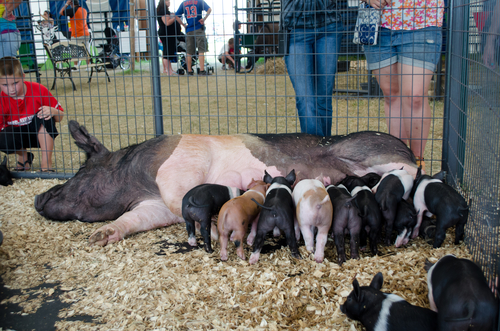 county fair-mother pig nursing piglets