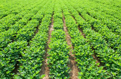 Peanut Seed Production