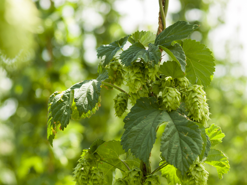 hops industry