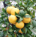 Hydroponically grown grapefruit