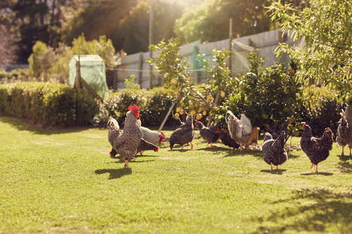 backyard flocks