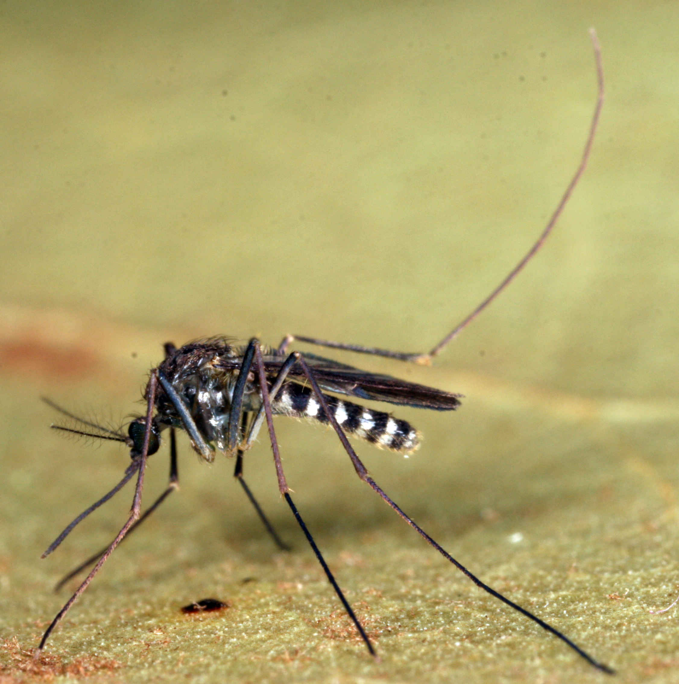 Mosquito May Play Key Role in Transmitting Eastern Equine ...