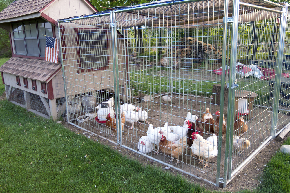 Cathy Isom has covered the restrictions, zoning, and several different  types of chickens for your backyard flock. Today, Cathy gets down to  business of ... - Cost Of Raising Backyard Chickens - Southeast AgNET