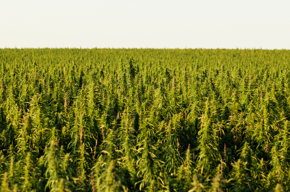 Here comes hemp: Congress votes to unleash a billion-dollar industry