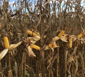 Corn at harvest-page-001