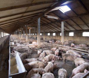 swine herd