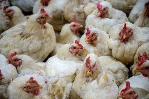 poultry-farm-bird-flu georgia