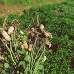 peanut profitability