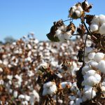 Cotton in field on farm in Alabama.