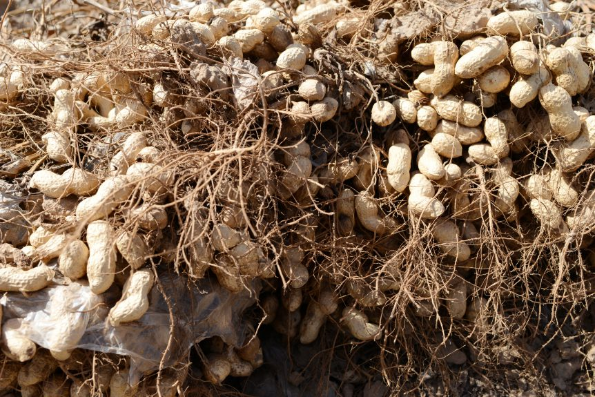 global peanut production