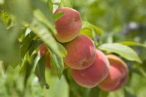 Florida Peaches attached to a peach tree. Fruit, stonefruit, horticulture. (UF/IFAS Photo by Tyler Jones.)