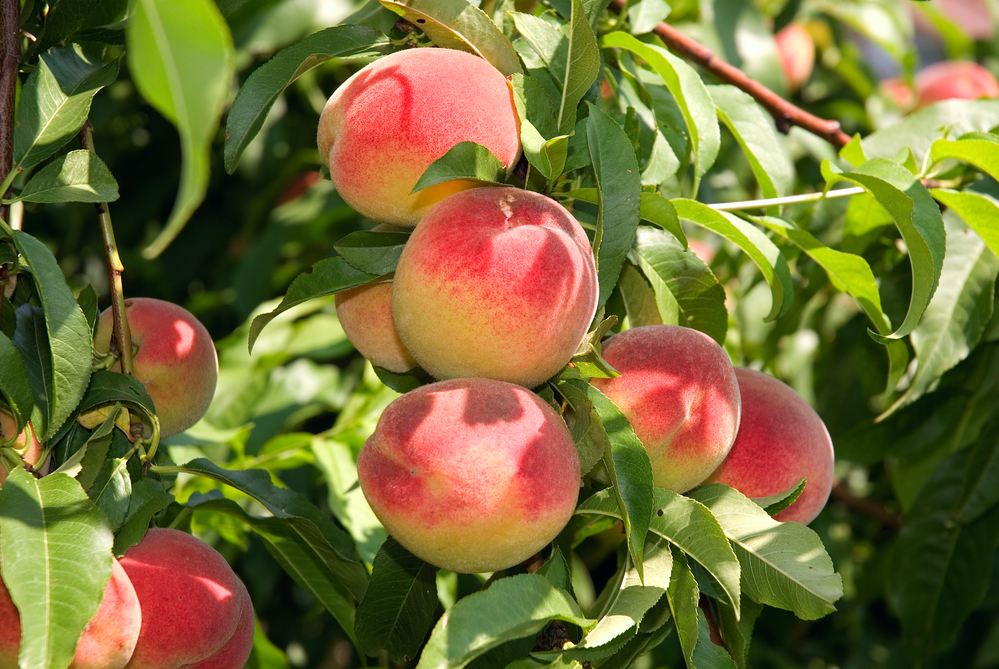 georgia peach crop