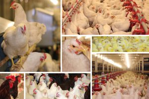 livestock poultry eggs prices