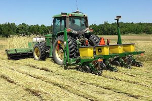 A tractor rolls a rye cover crop and plants cotton seeds at the same time. (Photo by Ted Kornecki.)