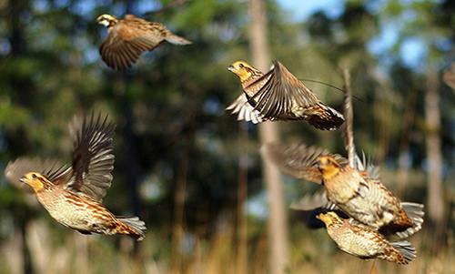 Florida bobwhite quail