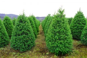 Christmas tree farming