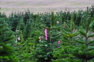 christmas trees start earning their shape cathy isom tells us about the hard work happening on the farm right now so we can enjoy big another