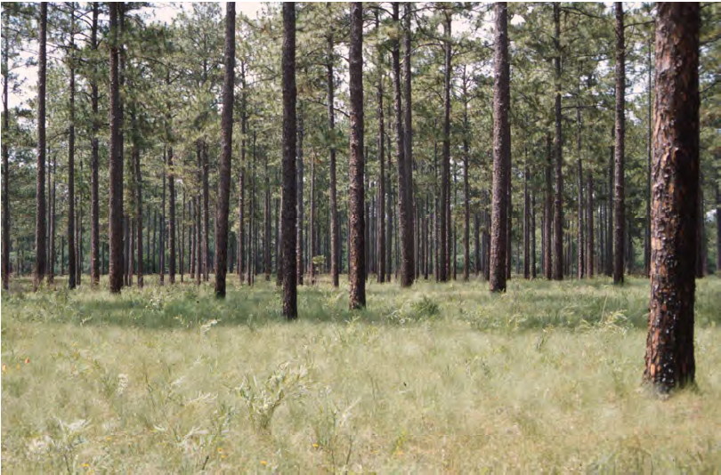 longleaf pine forests