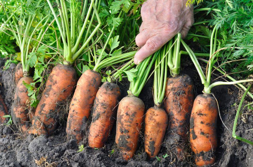 Florida carrots