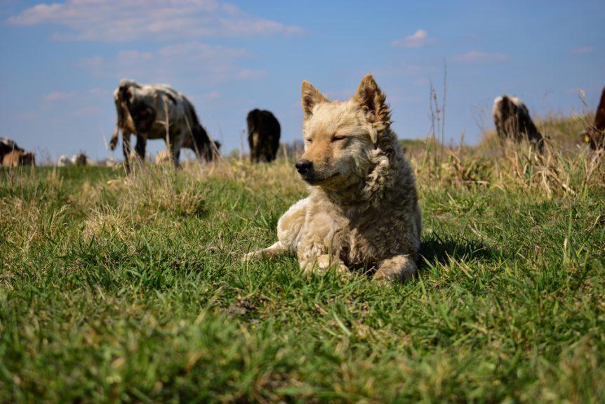 livestock guard dog