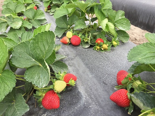 national strawberry