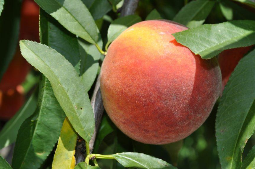 florida peaches