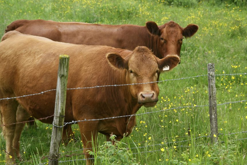 kentucky cattle