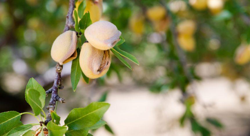 tree nut