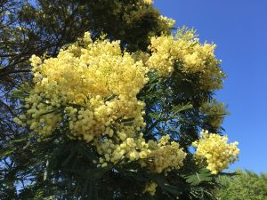 Practical Uses of the Mimosa Tree - Southeast AgNET