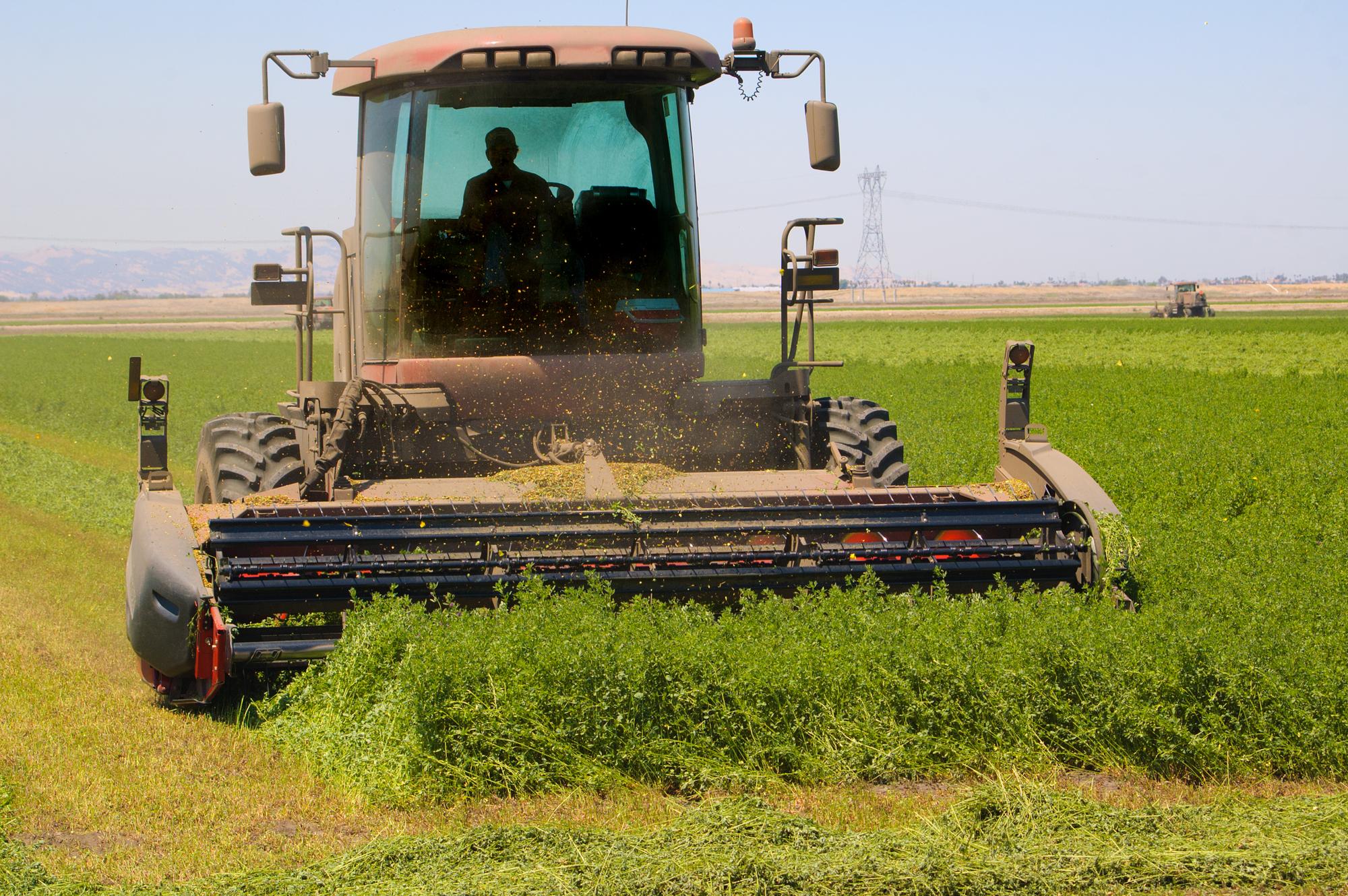 growing alfalfa
