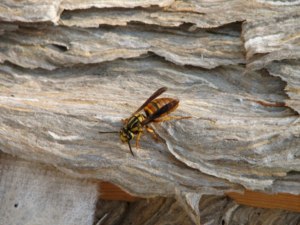 Massive Yellow Jacket Nests Appearing - Southeast AgNET