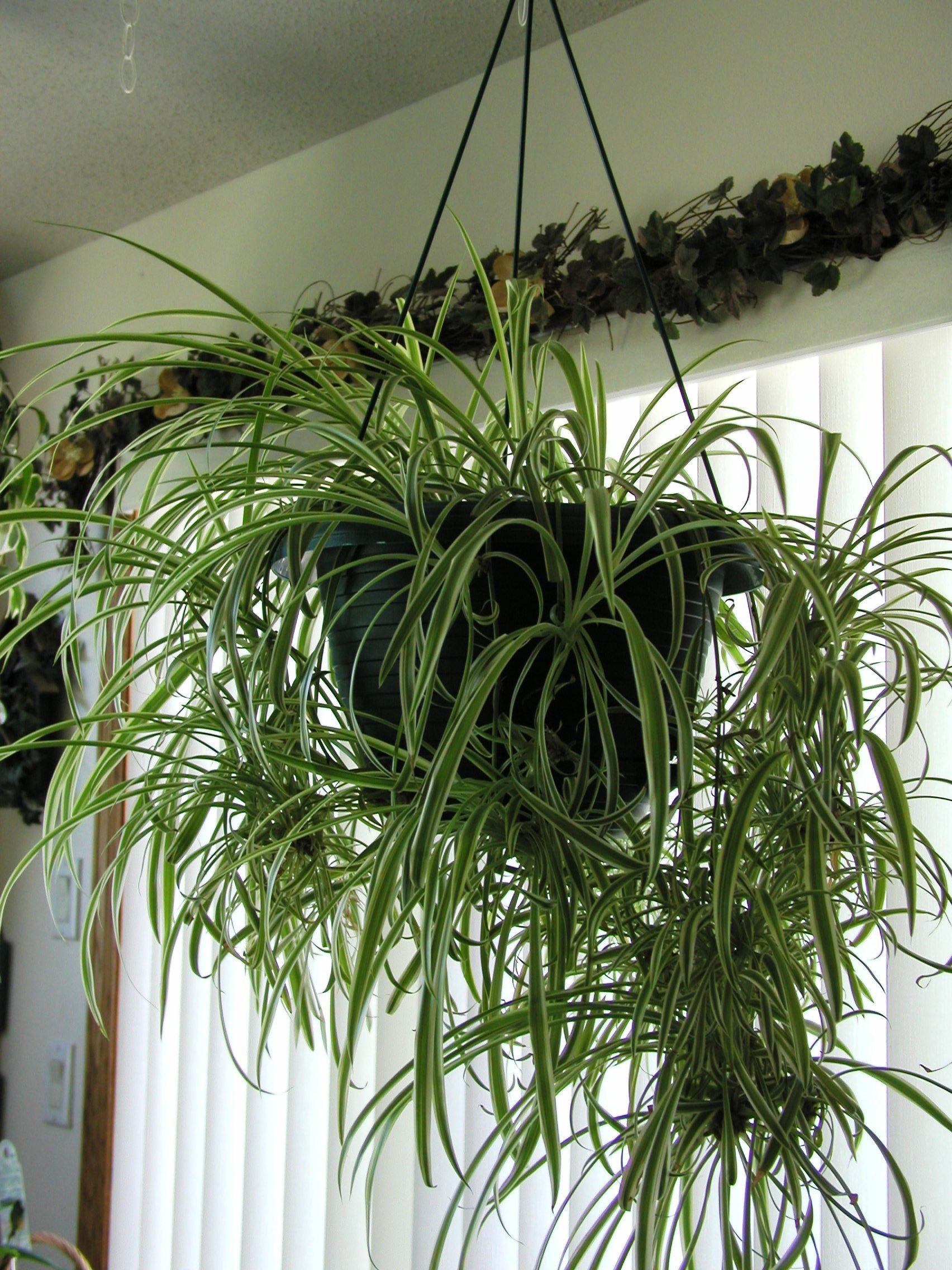 How To Propagate Spider Plant Babies Southeast Agnet